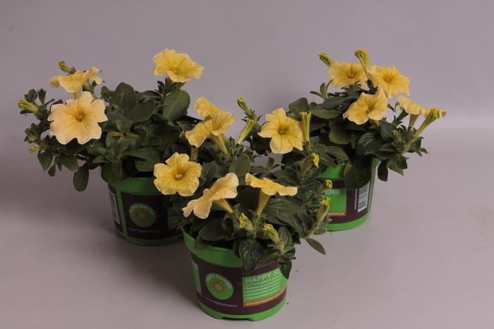 <h4>Petunia Saguna Pastel Yellow</h4>