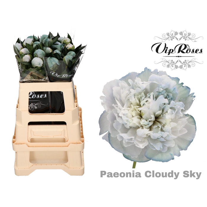 <h4>PAEONIA CLOUDY SKY x 20</h4>