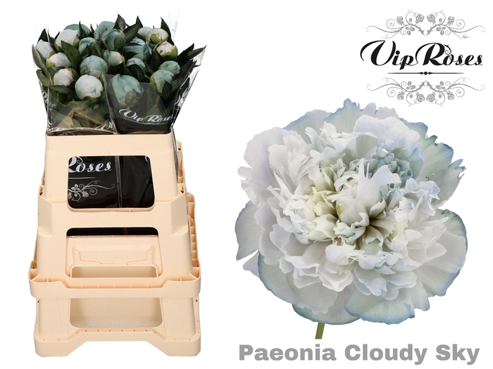 <h4>PAEONIA CLOUDY SKY L 50 x 20</h4>