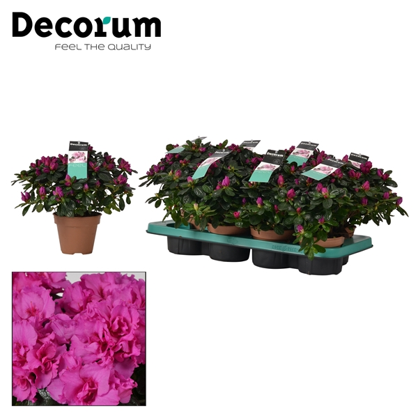 <h4>Azalea 12 cm Himalaya Decorum</h4>