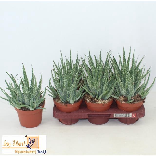 <h4>Aloe Arborescens 14Ø 25cm</h4>