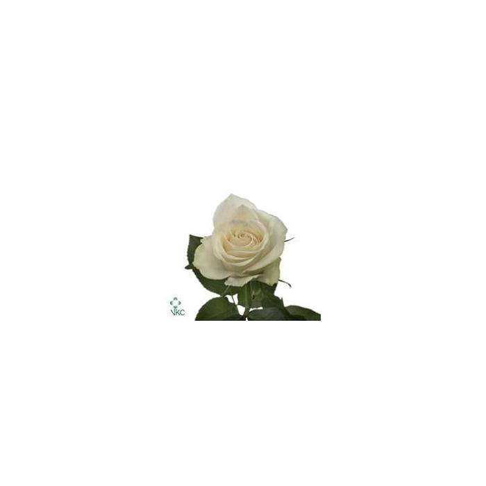 <h4>单头玫瑰 雅典娜</h4>