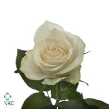 Rosa Gr. Athena