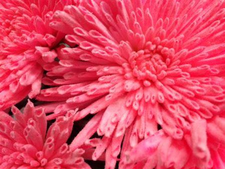 <h4>Chr G Ana Snow Pink</h4>