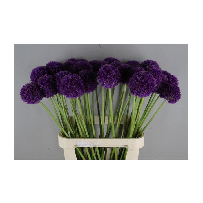 <h4>Allium Giganteum</h4>