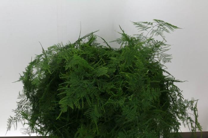<h4>Asparagus Setac Middel Getopt</h4>