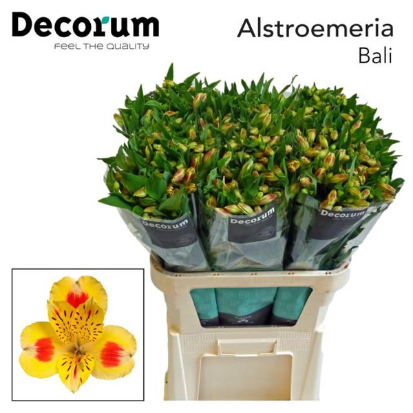 <h4>Alstroemeria Bali</h4>