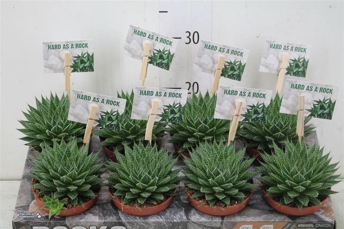 Aloe Aristata Magic