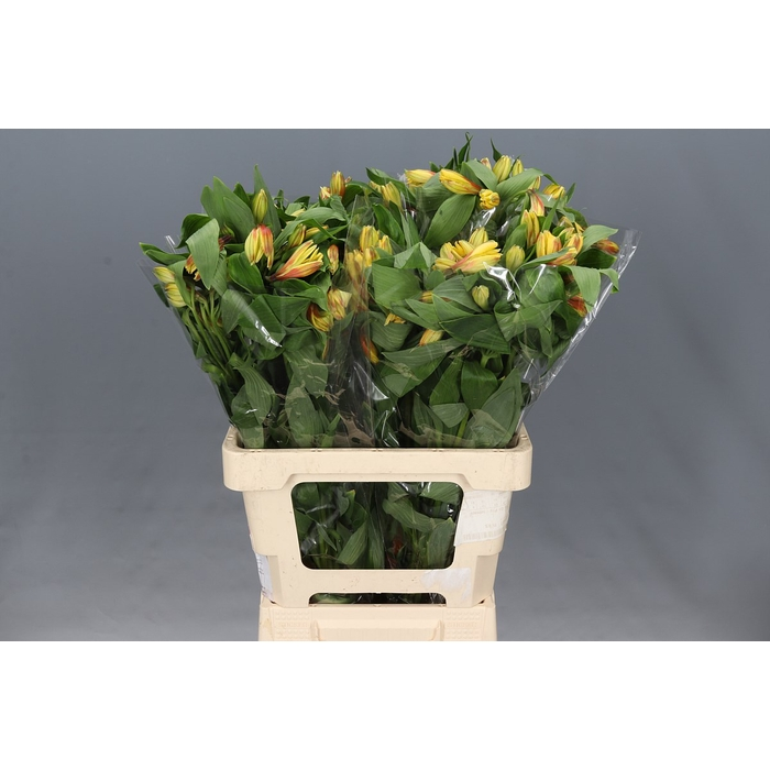 <h4>Alstroemeria Mix Re/Or/Ye/Wh</h4>