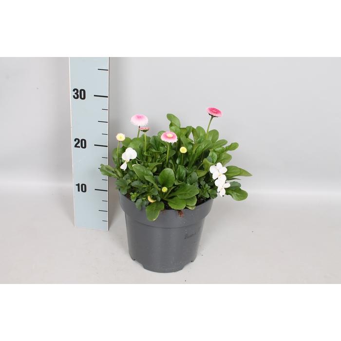 <h4>Viola Bellis 19 cm mix White Rose</h4>