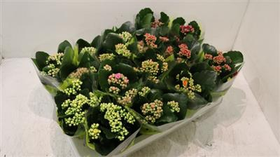 <h4>20.GEM.MINI KALANCHOE</h4>