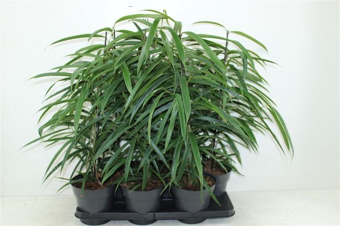 <h4>Ficus Alii</h4>