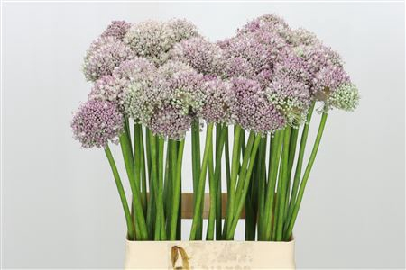 <h4>Allium Ampeloprasum Pink</h4>