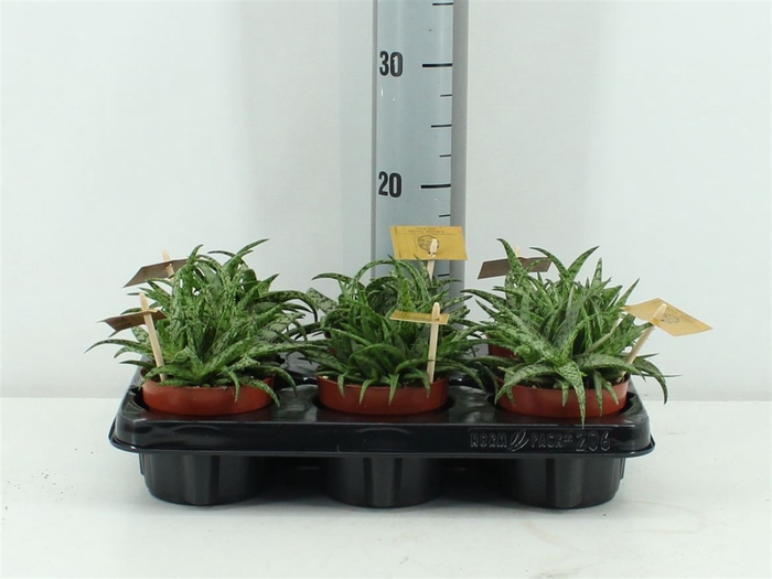 <h4>Aloe Spider 10,5cm</h4>