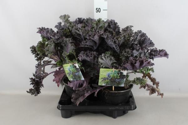 <h4>Brassica</h4>