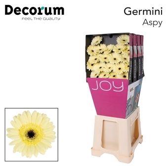 <h4>Germini Aspy</h4>