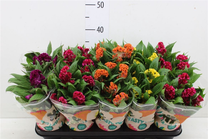 <h4>Celosia Cr Twist Gemengd In Hoes</h4>