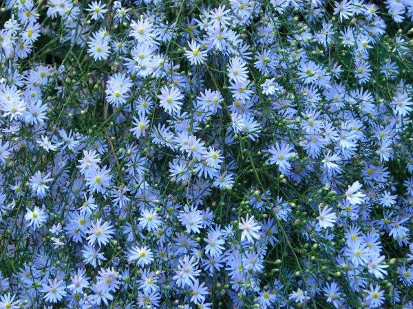 <h4>Aster Blue Moon</h4>
