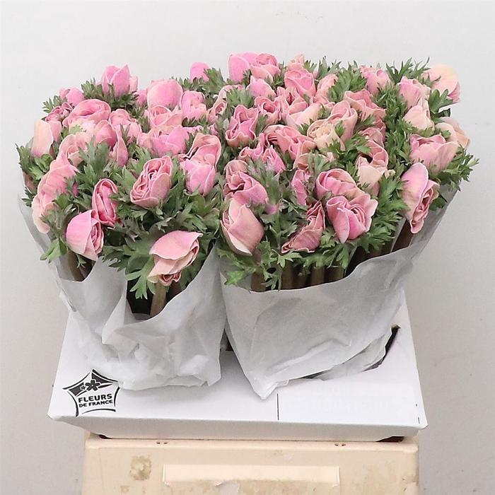 <h4>Anemone Powder Rose</h4>