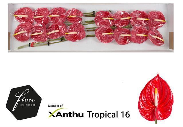 <h4>Anth Tropical</h4>