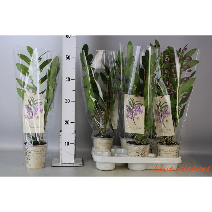 <h4>Dendrobium Cultivars</h4>