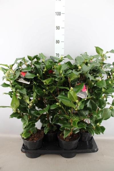 <h4>Camellia japonica 'Dr King'</h4>