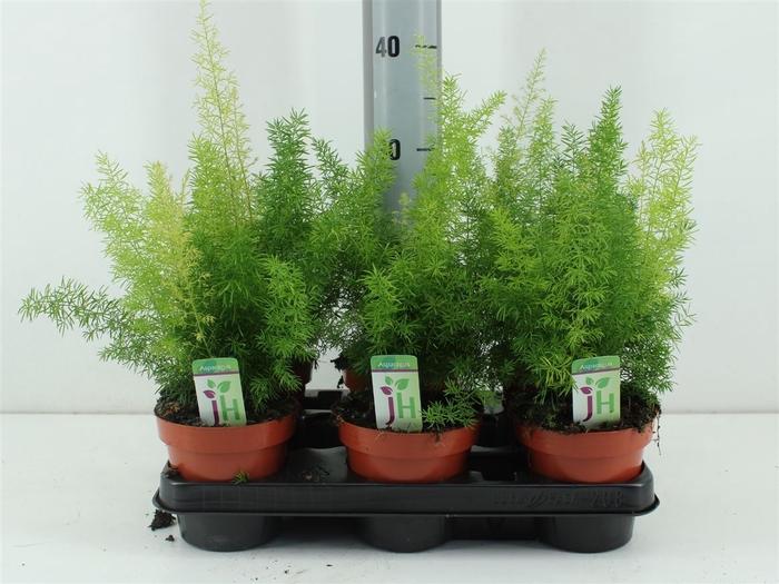 <h4>Asparagus Meyeri</h4>