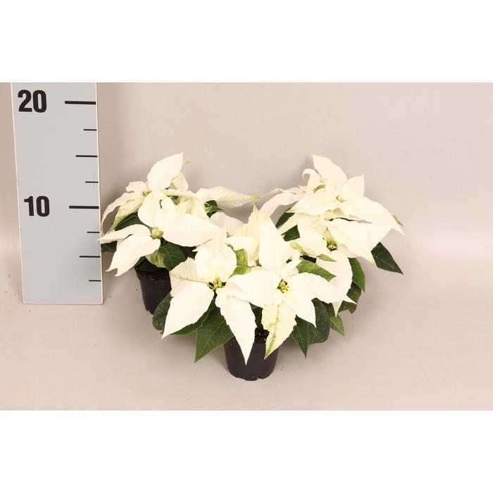 <h4>Poinsettia 6  cm Princettia Pure White 2/4 koppen</h4>