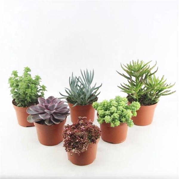 <h4>Succulenten mix</h4>