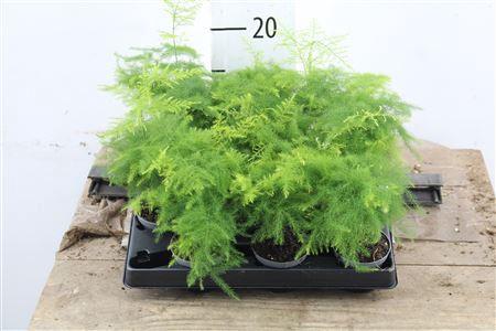 <h4>Asparagus Setaceus Plumosus</h4>