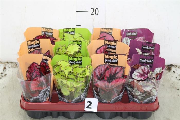 <h4>Begonia Blad Magic Colours Gemengd</h4>