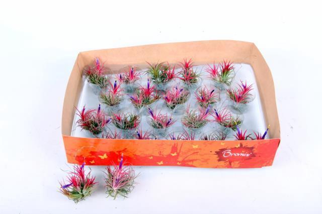 <h4>Tillandsia schiedeana multiple met bloem 5cm</h4>