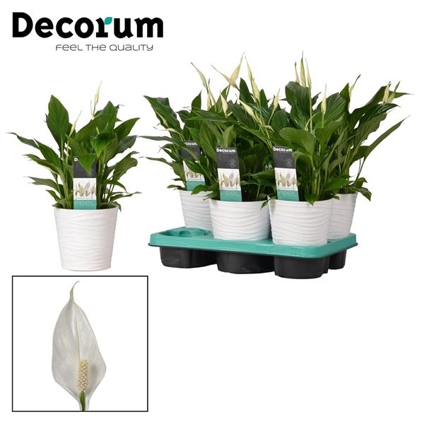 <h4>Spathiphyllum 13 cm 'Bellini' in Wave keramiek Decorum</h4>