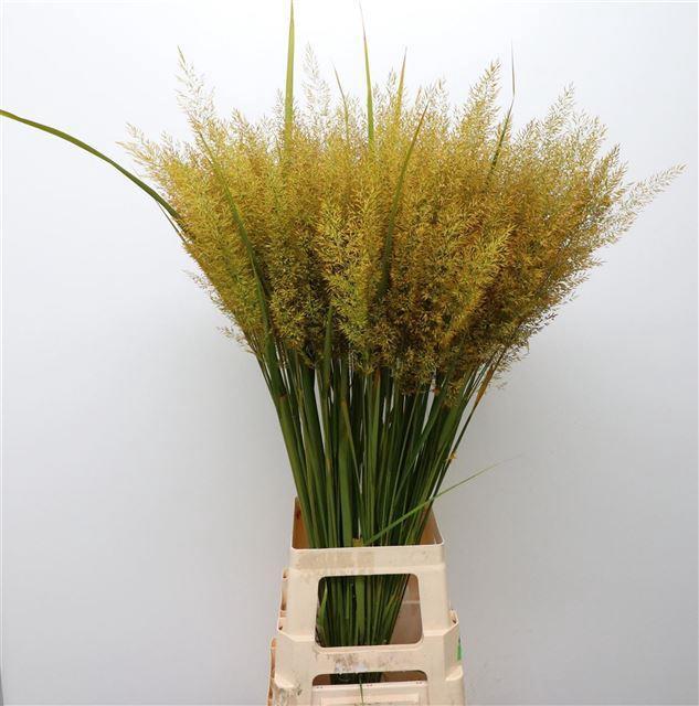 <h4>Calamagrostis Brachy Okergeel</h4>