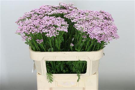 <h4>Achillea Lilac Beauty</h4>