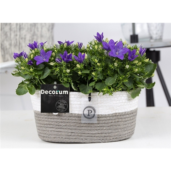 <h4>Campanula 'Napoli' Decorum Field Basket</h4>