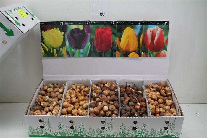 <h4>Bloembol Tulipa Gemengd Showdoos 5 Soorten</h4>