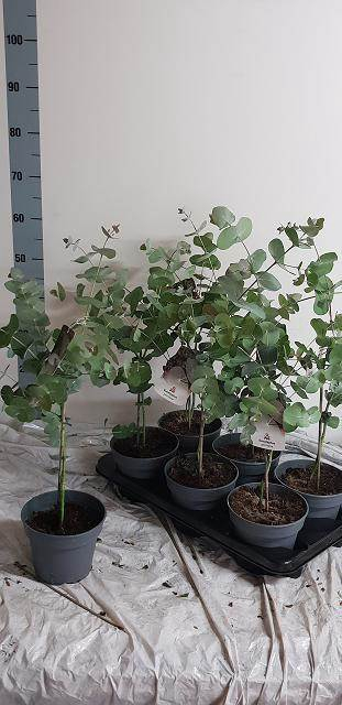 <h4>Eucalyptus Perriniana</h4>