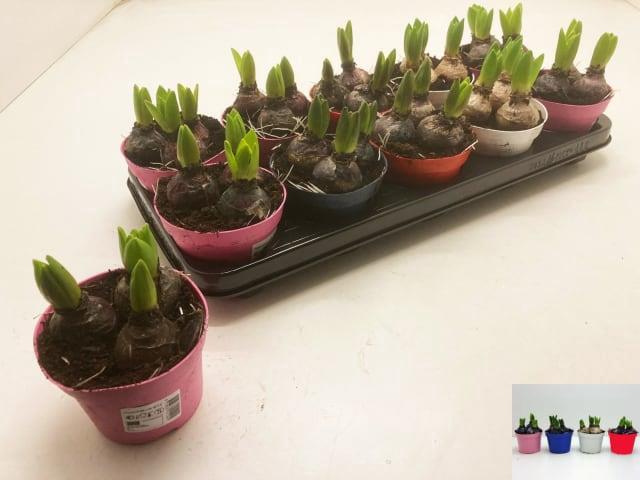 <h4>Hyacin Gem 4 Kl</h4>