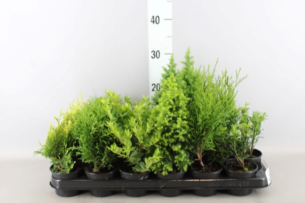 <h4>Conifers and Shrubs   ...mix</h4>