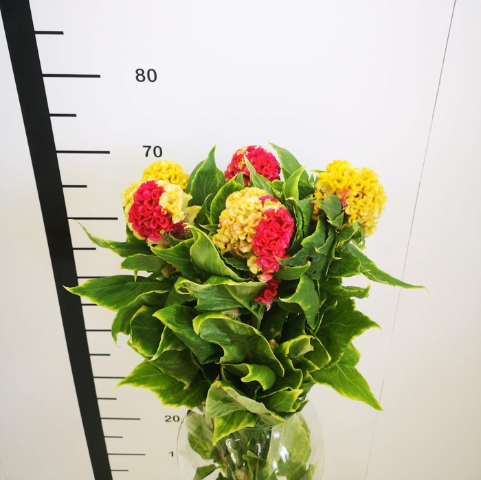 <h4>Celosia cristata bicolor naranja-roja</h4>