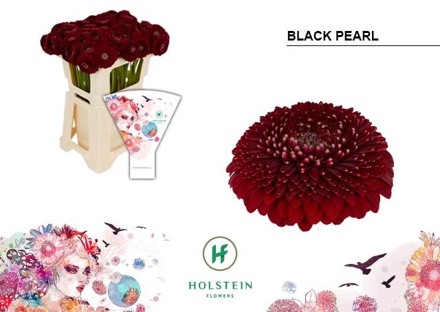 <h4>GE BV hoes Gerponi Black Pearl</h4>