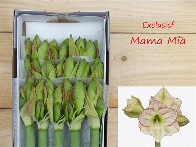 <h4>Amaryllis Mama Mia</h4>