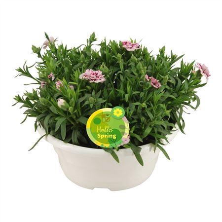 <h4>Hello Spring Dianthus Oscar In Schaal Wit</h4>