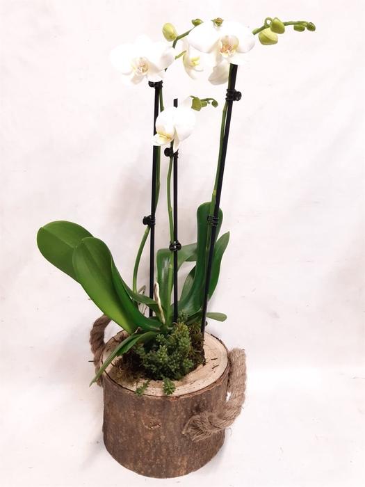 <h4>Arr.  Phalaenopsis MT 18+   H%</h4>