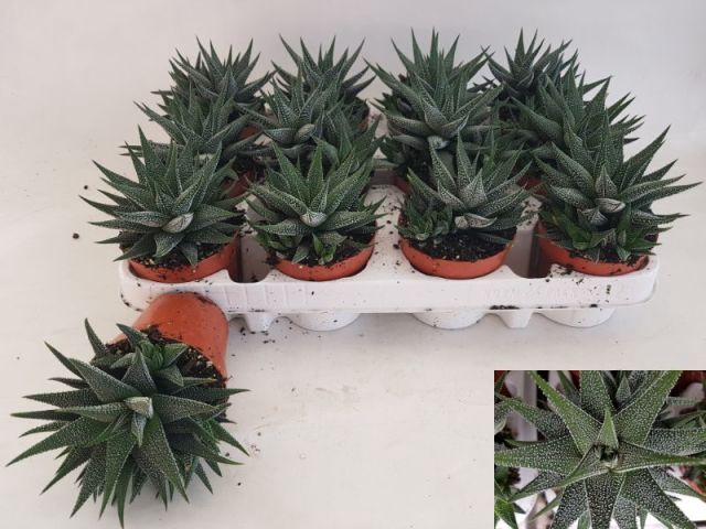 Aloe 8,5Ø 17cm