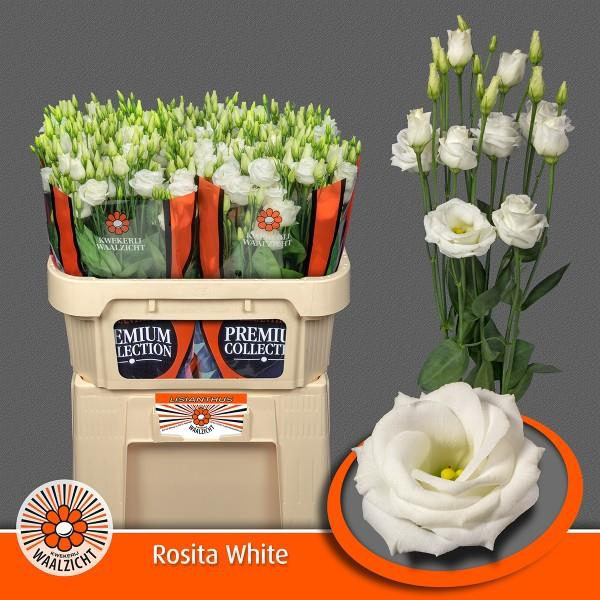 <h4>Eus G Rosi White</h4>