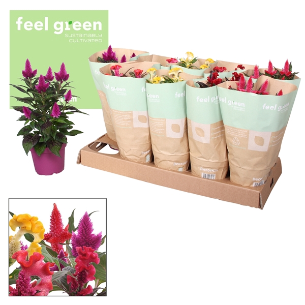 <h4>Celosia mix 5x2 Feel Green</h4>