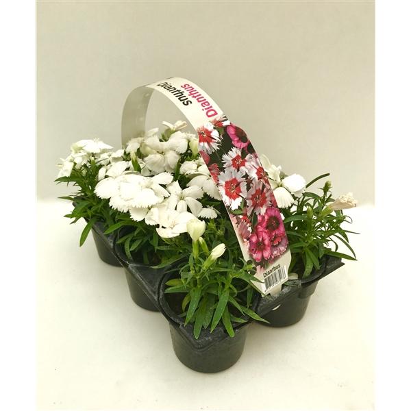 <h4>Dianthus wit 6p</h4>