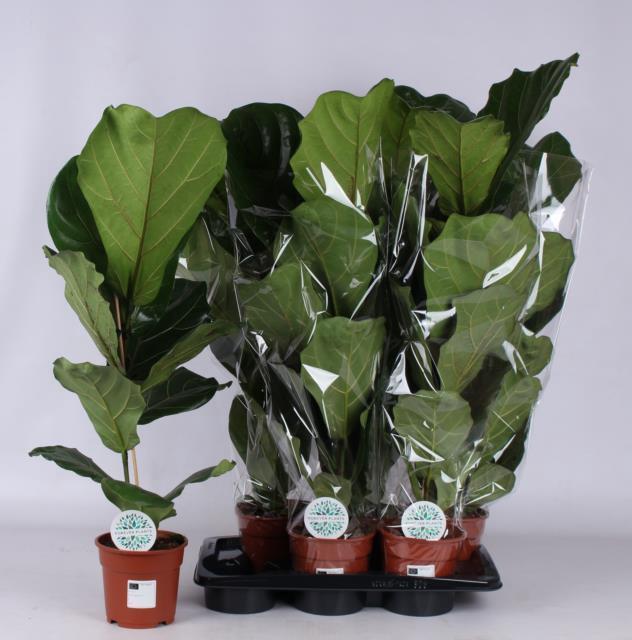 <h4>Ficus Lyrata 17Ø 95cm</h4>